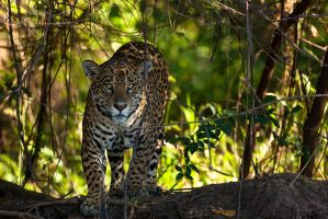Jaguar 07 by catman-suha