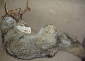 Halloween Coyote SOLD! by Tricksters-Taxidermy