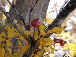 Fall Berries #2 by Sarvstergal