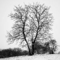 loneley snow tree by Keischa-Assili