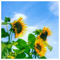 shining sunflowers by guality