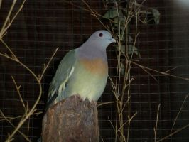 male pink-necked green pigeon by Feridwyn