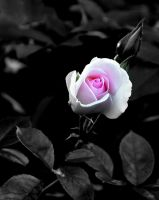 Out of the dark. Rose. by whackeyjackie