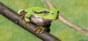 tree frog by vince-ma