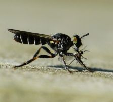 Another Asilidae, with prey by duggiehoo