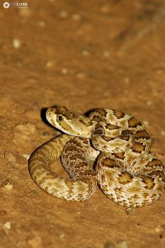 Neonate Mojave Rattlesnake by slytherin-girl