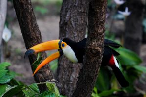 Toucan by Cyssoo