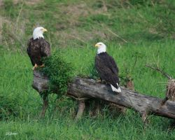 Eagles  a matched pair by DGAnder