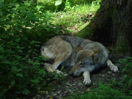 Sleeping Wolf in Munich Zoo by Singing-Wolf-12