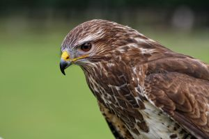 common buzzard by deoroller