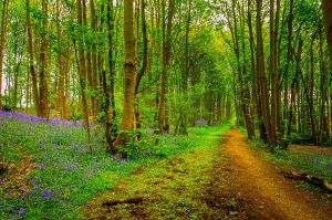 Bluebell Path by do7slash