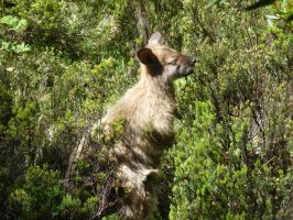 Wallaby by StingRoll