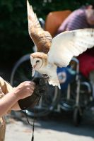 Barn Owl - 3 by Seductive-Stock