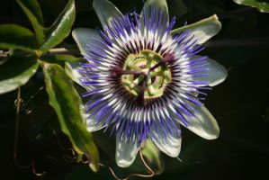 passion flower closer by ingeline-art