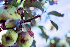 Apple tree 2 by ndcheezit