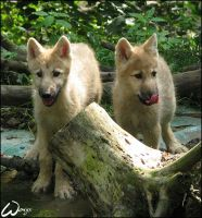 Arctic wolves pups and lake by woxys