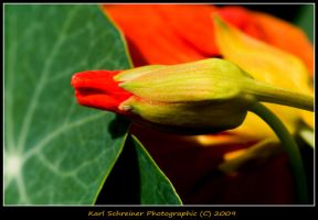 Red Nasturtium Bud by KSPhotographic