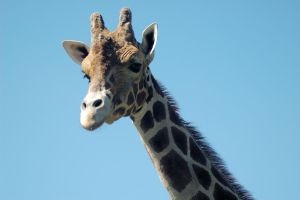 Giraffe Stock 05 by Jaded-Night-Stock