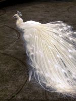White peacock by alcohobo