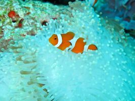 Amphiprion ocellaris - The clownfish by Cicciobello-BoBo