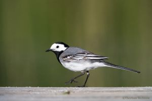 White wagtail by WildGepard