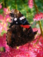Red Admiral Butterfly 4 by darchiel