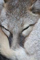 Swift Fox Sleep by Jack-13