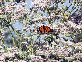 Monarch on Milk Weed by DaisyDinkle