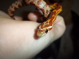 Corn snake hatchlings: Oolong by Jovamabob