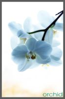 Orchid by simoner