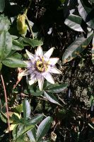 the passionflower by Eilesselas