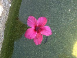 Hibiscus in my pool by Sugerpie56