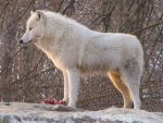 North American Arctic Wolf 119 by animalphotos