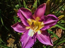 Purpel Lily by Tryst-IN