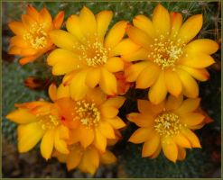 CACTUS FLOWERS 415 by THOM-B-FOTO