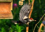 Great spotted woodpecker by Somnp