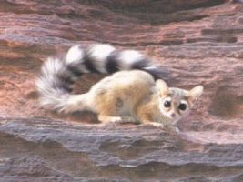 The Ringtailed Cat by staino