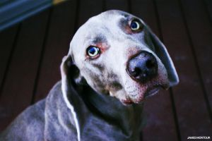 Weim 2 by JamesMontour