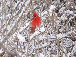 Cardinal In Snow Stock 2 by ravenarcana