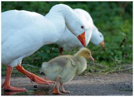little goose with mom by Claudia008