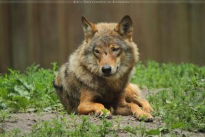Orange Wolf by Khalliysgraphy