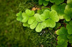 Forest Shamrock by amrodel