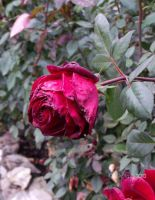 Damp red rose by dreamingshadow18