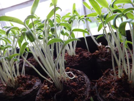 Tomato Sprouts by Prussia-Hungary