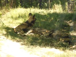 African Wild Dogs by RainDreamSezMeow