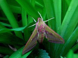 Elephant Hawk-moth by yoult