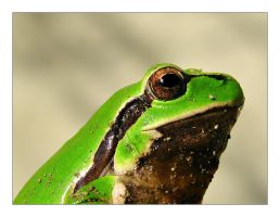 Portrait of a frog by leilani-m