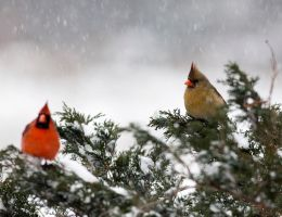 Northern Cardinal by madmoonhowl