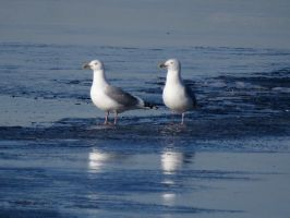 Gulls on the ICE by Nipntuck3
