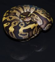 Fire ball python: Mal by Phoenix-Cry